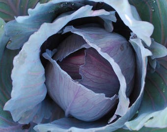Red Express Cabbage Seeds, Brassica Oleracea - Organically and Sustainably Grown in Ottawa, Canada