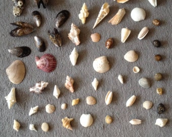Seashell Collection of the Pacific NW - Free Shipping to USA - Lot 7
