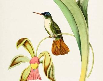 Azure-Crowned Hummingbird Print, Bird Art Print, Bird Art, Bird Poster, Floral Art, Flower Art, Garden, Hummingbird Art, green, pink, yellow