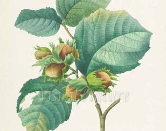 Hazelnut Botanical Print, Hazelnut Art Print, Wall Art, Fruit Art, Fruit Print, Kitchen Art, Garden, Redoute Art, Hazel Nut, Corylus Maxima
