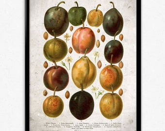 Plums Fruit Vintage Print - Plums Poster - Plums Art - Plum Picture - Fruit Print - Fruit Poster - Fruit Art - Fruit Picture - Kitchen Decor