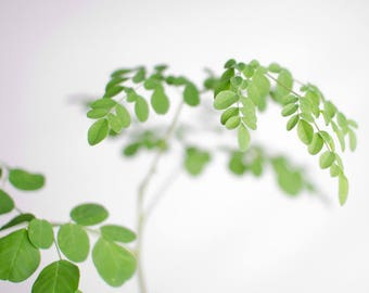 Live Moringa Plant - Established Live Plant - Naturally & Organically Grown - Quality Assured - Chemical Free Permaculture Plant