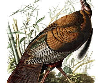 Audubon's Plate 1 Wild Turkey Cross Stitch Pattern