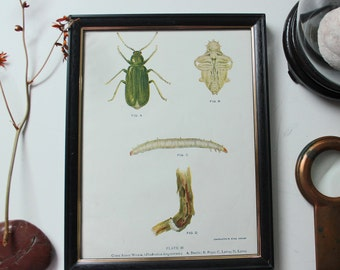 1920 Antique insect green beetle print framed lithograph - office room wall decor