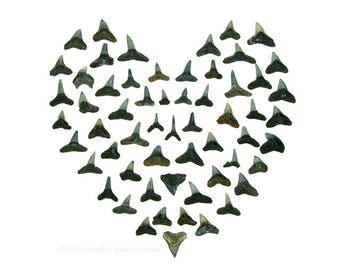 Shark Tooth Valentine (8 x 10 photograph) beachcombing, heart, shark teeth, beach art, coastal decor