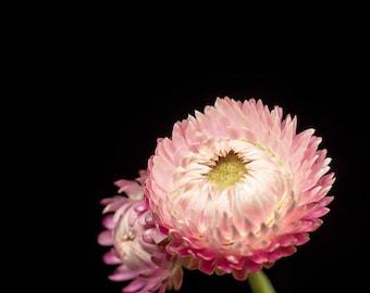 Blush Pink, Strawflower Photograph, Flower Decor, Wall Art Print - Nature Photography, Nursery Artwork, Girls Room Walls, Botanical Prints