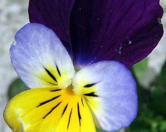 Johnny Jump-up Seeds (Viola tricolor)