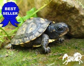 BABY TURTLE PHOTOGRAPH 8 by 10, 5 by 7, or 4 by 6 Inch Photo Print, Adorable Infant Box Turtles Tortoise Herpetology Nature Wildlife Picture