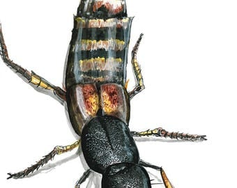Rove Beetle art print, insect illustration, nature wall decor, original bug drawing