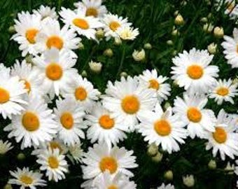 Let It Grow Seed Packs -Organic Shasta Daisy Seeds