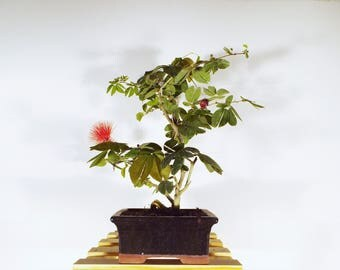 Dwarf Red powder puff bonsai in an Onyx clay pot. This bonsai is easy to care for. Beautiful red flowers are produced by this bonsai