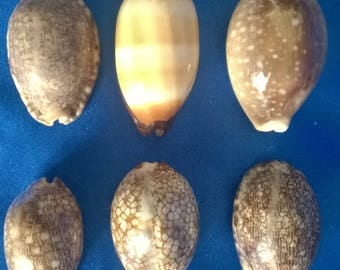 Set of 6 Cowries from an Old Collection (b)