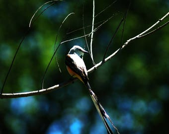 Texas Bird: scissor tailed flycatcher on canvas