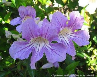 Violet Trumpet Vine aka Clytostoma Callistegioides Live Plant Fit 5 Gallon Pot - MOR