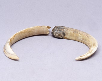 Two Antique warthog tusks. Africa. Tribal, ethnic jewelry