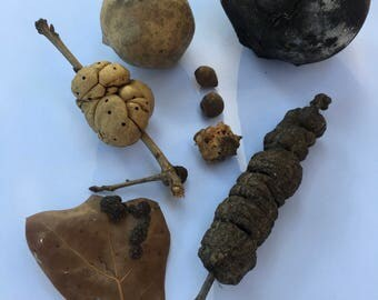 7 Species Wasp Gall Collection-----Nature Collection, Curiosity Cabinet, Galls, Nature Study, Curiosities, Natural Supplies