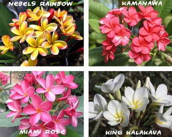 10 Plumeria ( Frangipani, Hawaiian Lei Flower ) Seeds, Rare Exotic Flower Plant Seeds, Mix 4 Colors