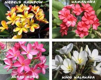 7 Plumeria ( Frangipani, Hawaiian Lei Flower ) Seeds, Rare Exotic Flower Plant Seeds, Mix 4 Colors