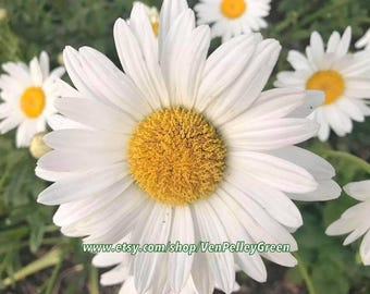 Daisy Print - Floral - Photography