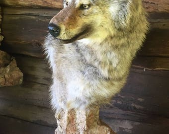 Real Timber Wolf Mount Taxidermy w/ Base Log Cabin Decor subordinate pack member (medium size)