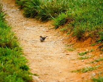 Chipping Sparrow in The Great Smokey Mountains National Park