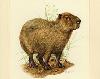 Vintage lithograph of the capybara or chigüire from 1956