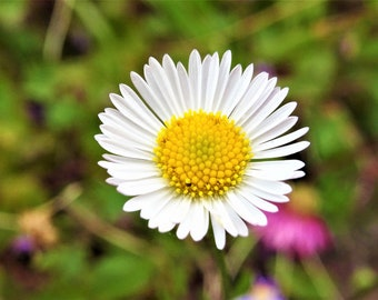 Daisy in Close-up (Digital Downloadable Photo)