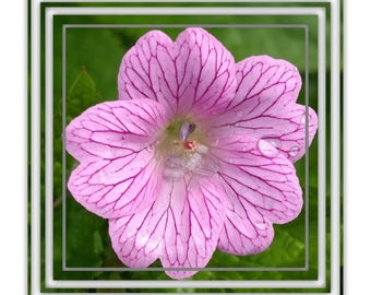 """Pack of 4 - """"Cranesbill"""" Flower Design Square Blank Greetings Cards"""