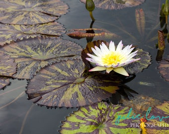 Purity - Water Lily, Lily Pad, Wall Art, Art Photography, Outdoors, Color, Home Decor, Fine Art, Nature
