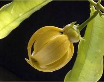 Ylang Ylang Vine Climbing YlangYlang plant Artabotrys hexapetalus