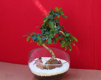 Live Fukien Tea Bonsai tree in a half moon shaped glass piece, decorated with red stone,moss, white pebbles