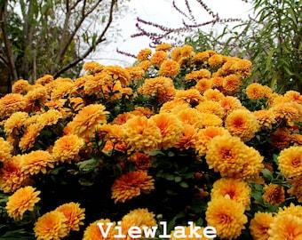 2 Chrysanthemum Garden Mum 'Pumpkin'