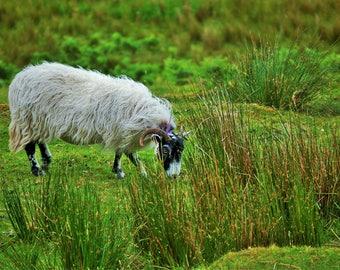 Scottish Sheep Canvas