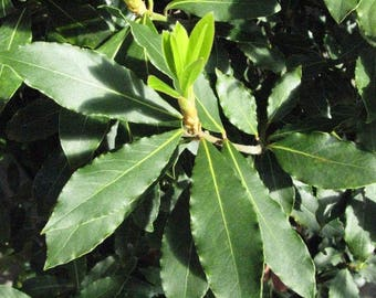 Laurus nobilis Bay Leaf for cooking Plant FREE SHIP