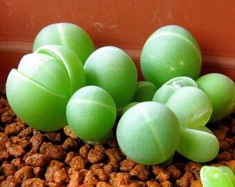 Gibbaeum 20 seeds  living stones heathii / comptonii succulent