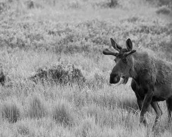 Original Print of Moose in the Meadow - Hannah Bergstrom Co Photography - Black and White - Rocky Mountain National Park