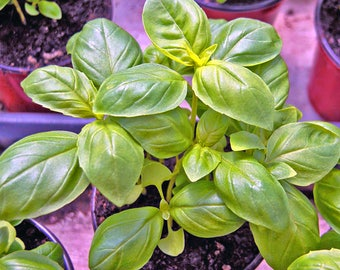 Lemon Basil seeds, NON GMO