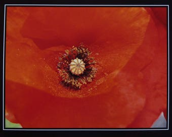 Photo close up big poppy 15 x 20 Red