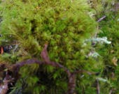 Special order of moss