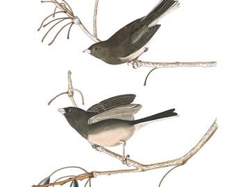 Audubon's Plate 13 Snow Bird Cross Stitch Pattern