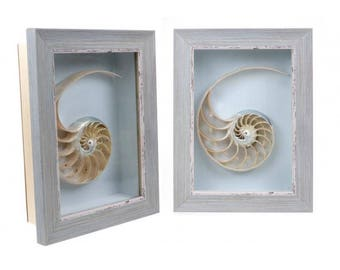 Framed chambered nautilus shell cross section cut - natural sea shell -