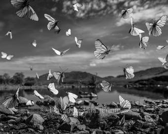 Aphoria Crataegi - White Butterflies - Mongolia 2015 - Wildlife - Fine Art Photography Print - Black and White Photograph