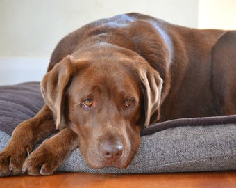 Cute Chocolate Labrador photograph