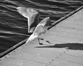 Seagull On A Floating Dock B&W - Photo Paper Print