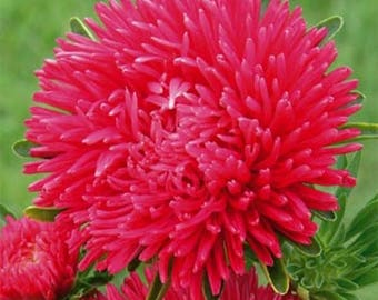 Aster- Paeony Duchess- Scarlet- 50 Seeds