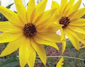 Jerusalem Artichoke EARLY Dwarf Sunray Variety - Organic Sunchoke Sunroot by the pound - for planting or eating
