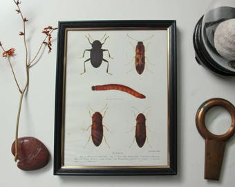 1920 Antique insect beetle print framed lithograph - office room wall decor