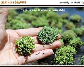 Save25% 4 Fruiticose Lichen Mounds- Assorted  Sized mounds-Live  Lichens-Terrarium supplies