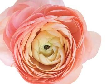 Ranunculus Mixed Peach Garden Flowers   - Vinyl Decal Wall Décor