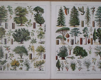 PAIR of Vintage Prints of FOREST TREES 'Foret (Arbres forestiers)' 1930 antique illustration types of forest trees with blossom and fruit
